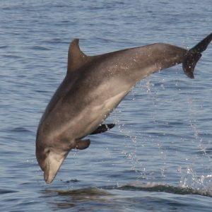 A Dolphin | Adopt A Uk Dolphin Adopt A Dolphin