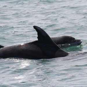 Adopt a Dolphin - from as little as £3 50 per month