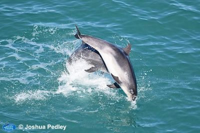 Why Do The Dolphins Keep Returning To Cardigan Bay?